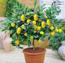 40 Pcs Lemon Tree * with Hermetic Packing * Indoor Outdoor A